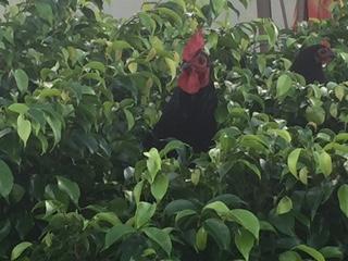 Cock in the bush